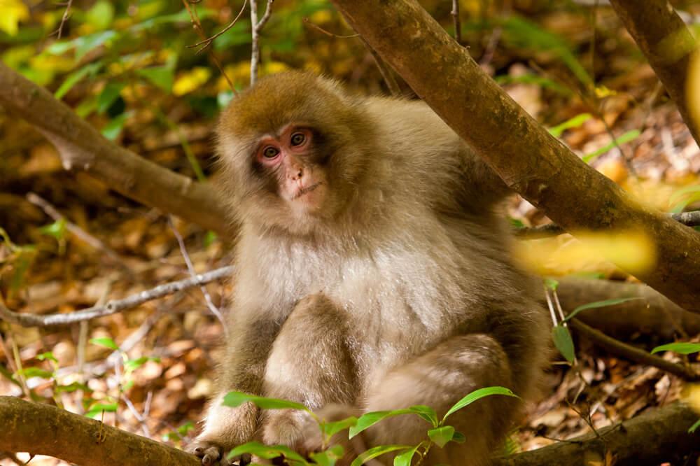 일본원숭이