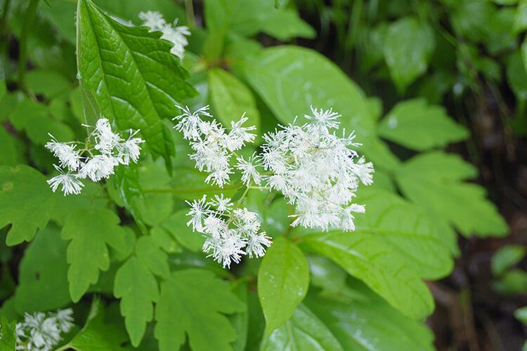 白神山地有多种多样的植物