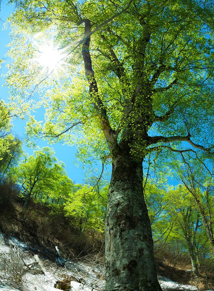 白神山地的山毛榉林刚