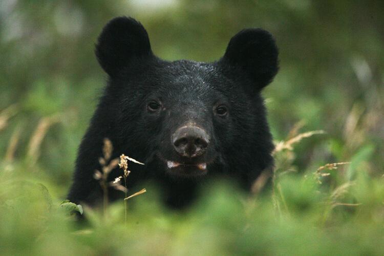 白神山地有黑熊