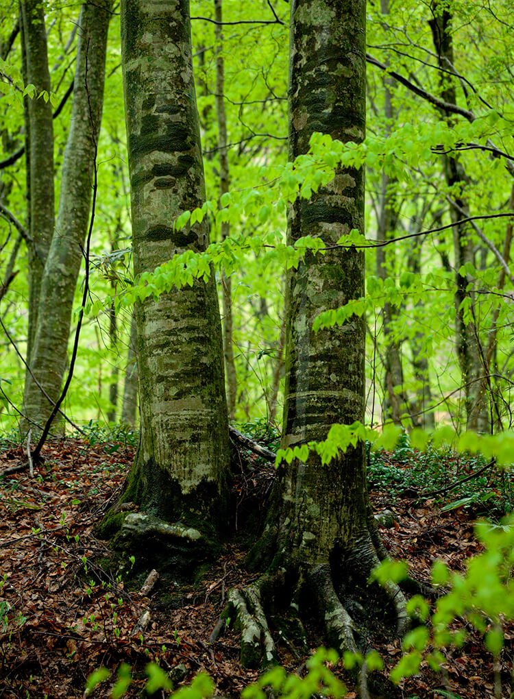 櫸木是在北歐被稱作「森林聖母」的美麗植物