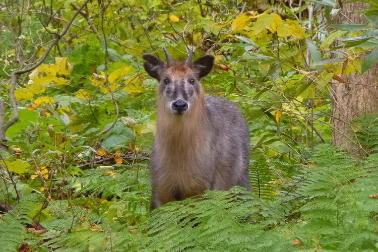 日本髭羚(日本國家特別天然紀念物)